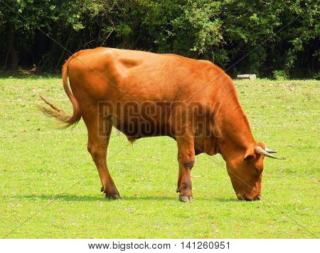 Bull grazing on meadow during sunny day
