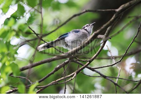 A blue jay bird sits in a tree on a sunny day