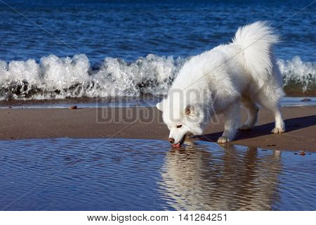 white Samoyed dog walks near the sea