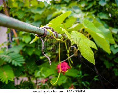 Wire entwined with grapewine in garden in Crimea