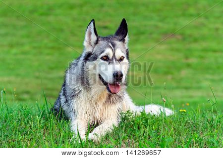 wet fluffy, adult dog alaskan malamute lies in nature late afternoon, portrait in full growth , looking away