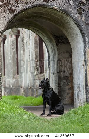 Big black dog standing on the background of the stone arch gate. Breed Cane Corso.