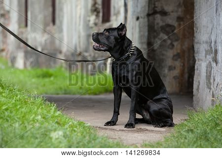 Big black dog sitting on a leash and looks. Breed Cane Corso.