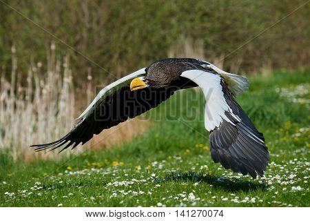 Stellers sea eagle (Haliaeetus pelagicus) in flight with vegetation in the background