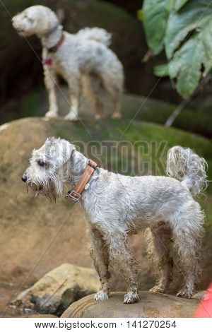 A poodle and a schnauzer dogs standing on rocks