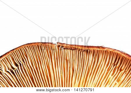 Hymenophore Of Agaric. Edible Mushroom Close-up View