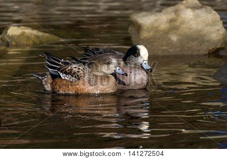 American Wigeon shot at vancouver BC Canada