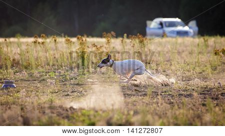 Coursing. White Whippet Dog Pursues Bait