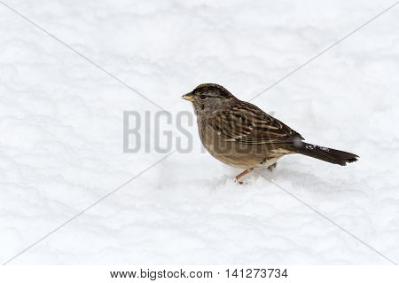 golden crowned sparrow and snow close up