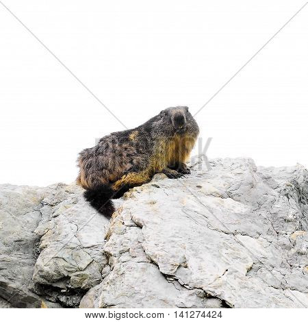 Marmot seats on the top of the big stone.