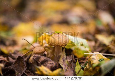 Honey agaric mushrooms. nature, object, orange, organic