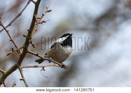 a Black capped Chickadee at BC Canada