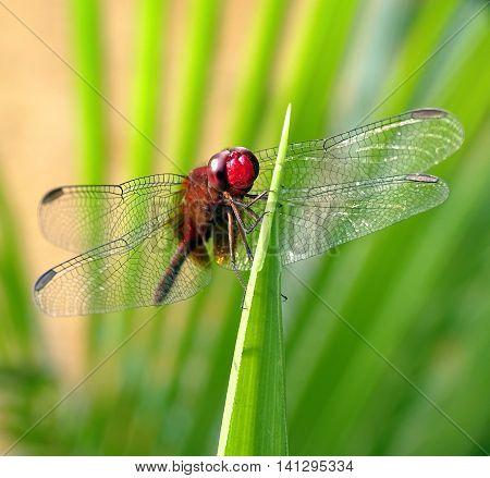 Uma das fotos mais difíceis. Fotografar uma libélula parada. Mas sempre vale a pena...