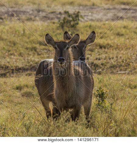 two waterbucks standing in savannah in backlight, Kruger, South Africa