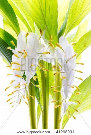 globba or white dragon flower isolated on white background