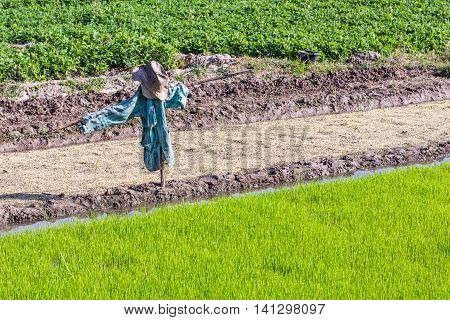 scarecrow in rice field , agriculture asia