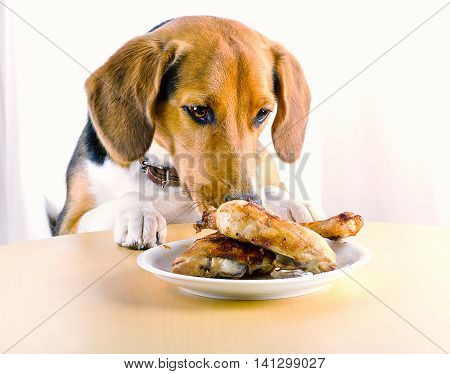 Beagle Dog Eating  Roasted Chicken Legs