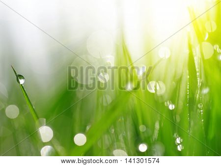 Fresh spring bokeh and green grass with dew drops. Soft Focus. Abstract Nature Background
