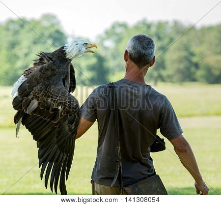 Falconry with a bald eagle sitting on arm in nature