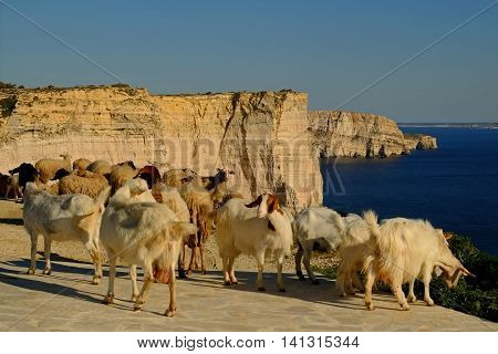 Goats on the Sanap Cliffs, on the Southern Coast of Gozo, Malta.