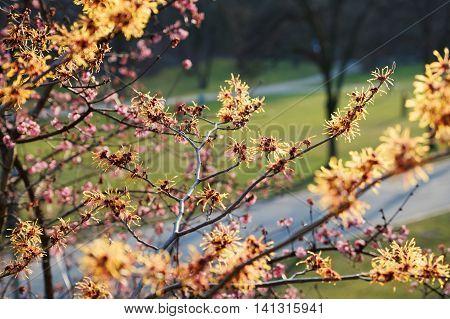 Blooming Witch Hazel, Hamamelis Intermedia In The Park