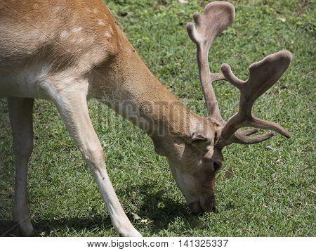 Deer Walking In The Park