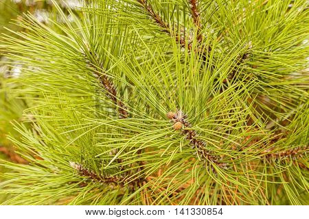 The Branches Of Evergreen Trees