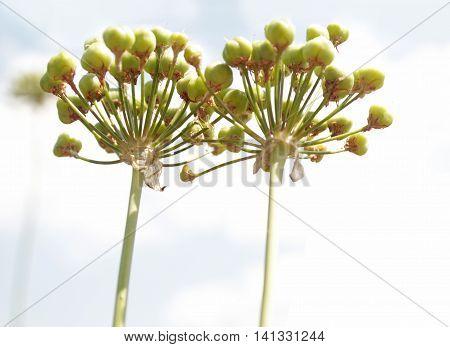 Tulipa kaufmanniana Liliaceae - uncontrolled invasive plants