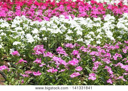 A flower bed with pink white and red flowers