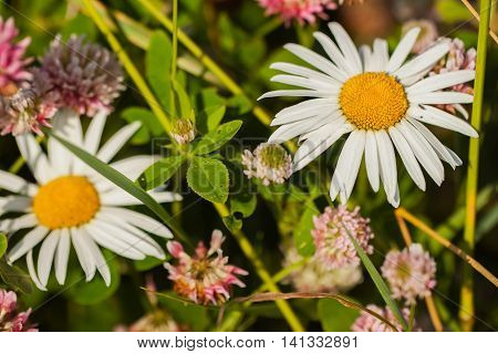 Chamomile - a modest wild flower with a cough and properties in herbal medicine.