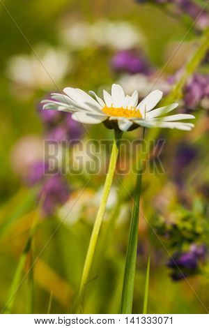 Daisies symbolize joy and kindness represent tremulous feelings, humility, love and beauty