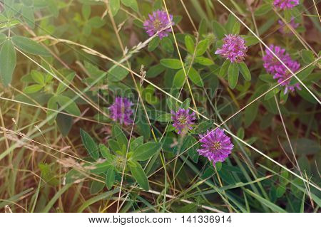 Background with purple clovers and green grass