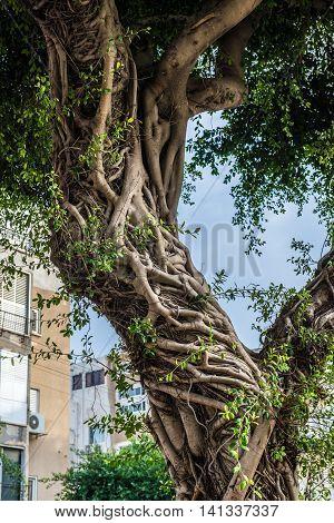 ficus tree in Tel Aviv city Israel