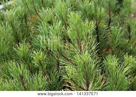 needle pine evergreen tree .Pinus mugo is cultivated as an ornamental plant in the garden and parks