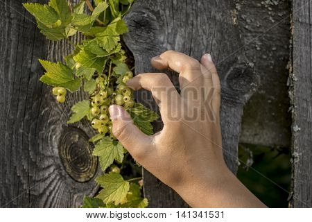 child hand wants to disrupt immature currants a branch crawled out between the fence planks