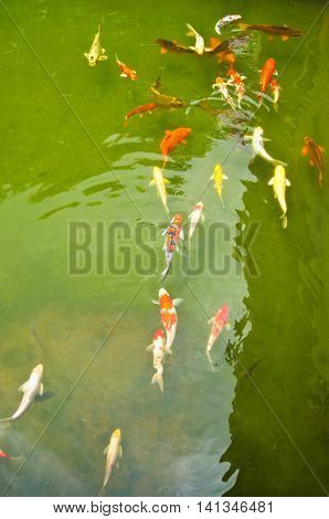 Koi carps swimming in the Pond at garden in home