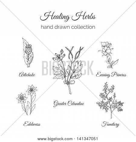 Holistic Medicine. Healing Herbs Illustration. Handdrawn Artichoke, Greater Celandine, Evening Primros, Fumitory and Edelweiss. Health and Nature collection. Vector Ayurvedic Herb. Herbal Natural Supplements. Organic plants.