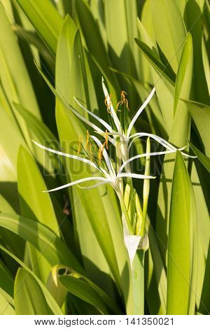 Crinum lily flowers on green leaf background