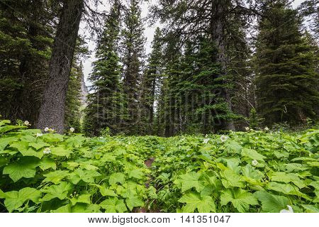 Low Angle View of Trail Overgrown with Thimbleberry Bush Blooms
