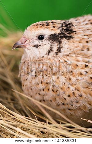 Cute adult quail in the straw nest over green background