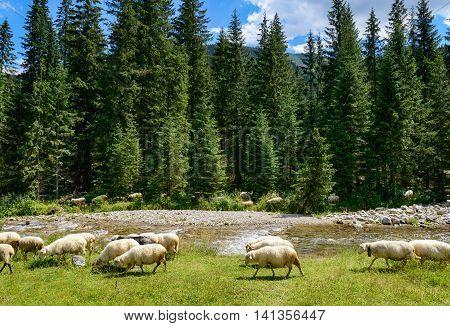 Flock of sheep in the Tatra mountains, Chocholowska Valley, Poland.