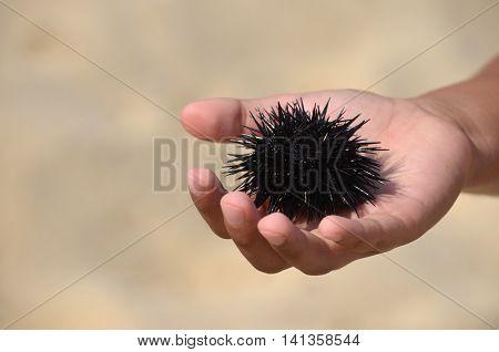 Black sea urchin in small children hand