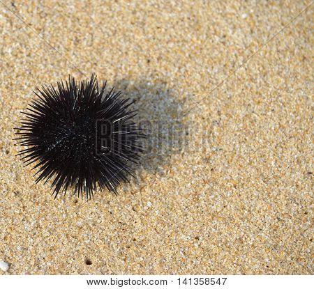 Sea urchin on summer sand near the water