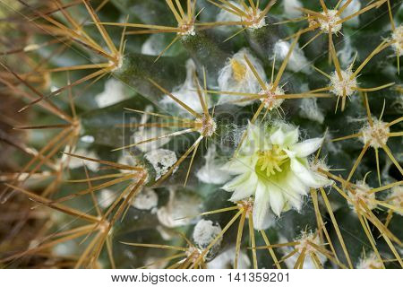 Macro of small yellowish white flower of Mammillaria cactus blossoming between (Mammillaria nivosa)