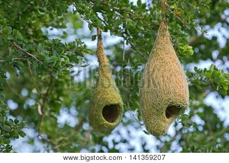 Closeup of Weaver bird pendant nests hanging on tree branches in the forest, Thailand