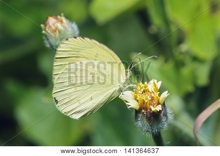 Butterfly are generally suck nectar from flowers
