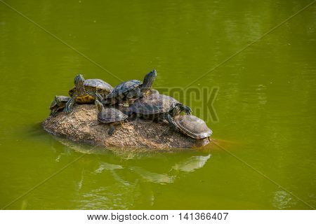 PORTO ALEGRE, BRAZIL - MAY 06, 2016: lots of turtles on the top of a rock surroundede by water in a city park .