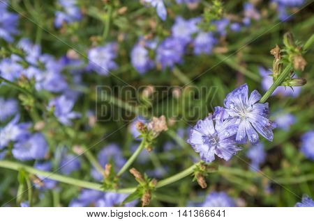 Raindrops on a blue flower of chicory which is used as a medical herb around a green meadow with grass