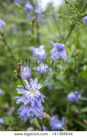 Raindrops on a blue flower of chicory which is used as a medical herb fly sits on top around a green meadow with grass