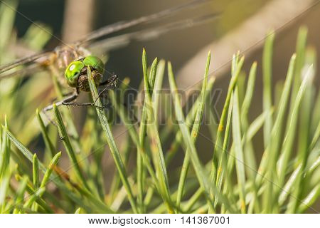 Beautiful dragonfly sits on pine needles in a forest close-up